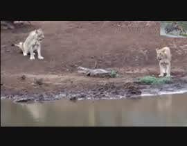 #5 for Create a youtube video  ----------  100 lion attacks in 2min by IftekharSadat