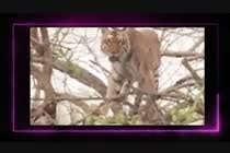 Video Services Inscrição do Concurso Nº14 para Create a youtube video -------- 100 Tigers Attack !!!