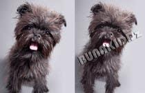 Contest Entry #8 for Affenpinscher dog converted to Pop Art