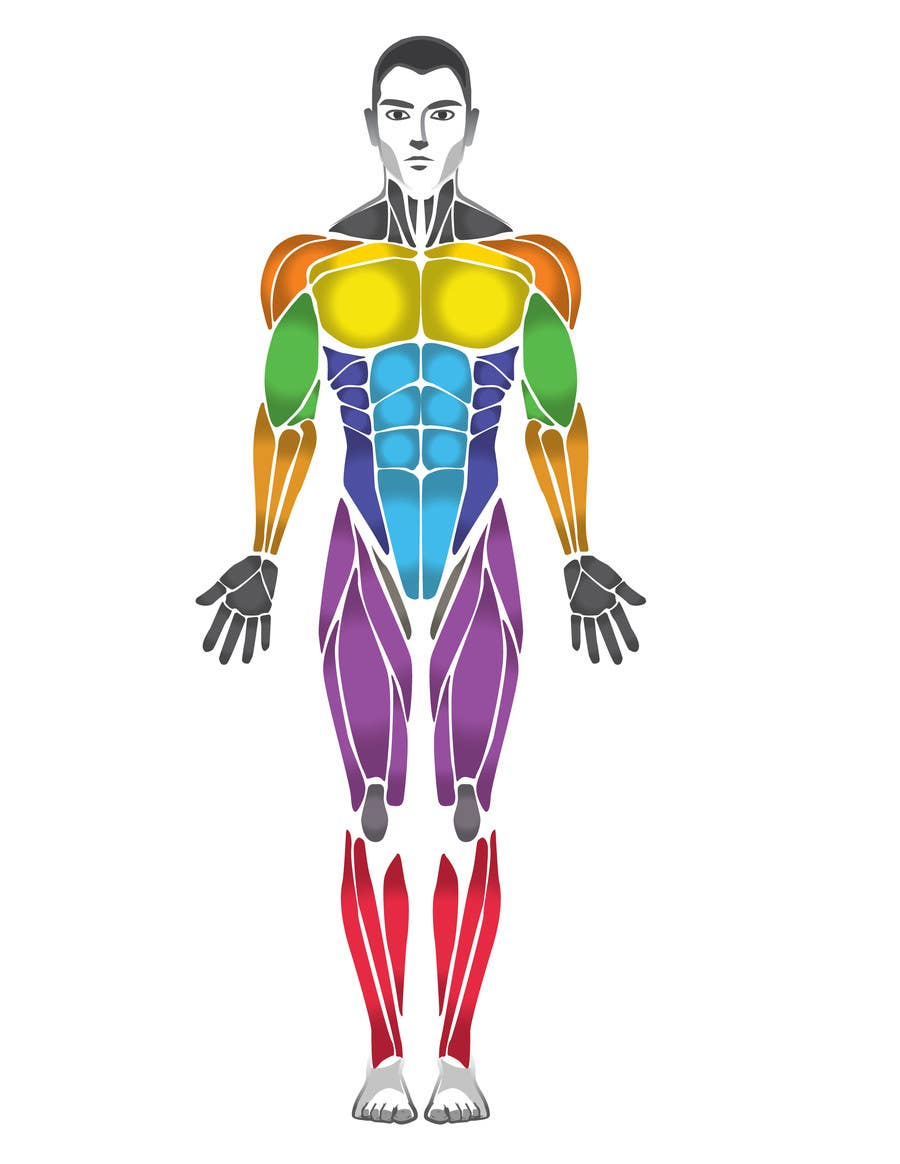 Entry #29 by SPesantezV7 for Design a male and female muscle chart ...