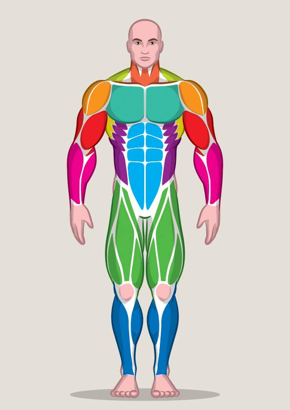 Entry #28 by peshan for Design a male and female muscle chart ...