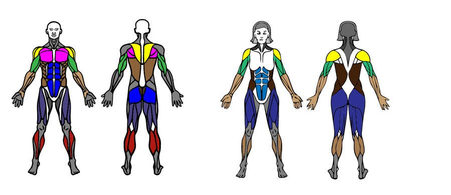 Entry #8 by vahan9 for Design a male and female muscle chart ...
