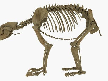 High Detailed Realistic Bear Skeleton With Advanced Rigging Made With Maya And Render With Arnold